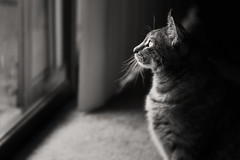 The Queen (apg_lucky13) Tags: jasdaco canon 6d jdc ca sepia gaze indoors lookingout canonef70200mmf4lusm l f4 iso800 feline whiskers tabby fur stare regal