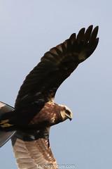 Busard des Roseaux (fauneetnature) Tags: busard busarddesroseaux oiseau bird oiseauenvol harrier lacdubourget savoie animalier animal