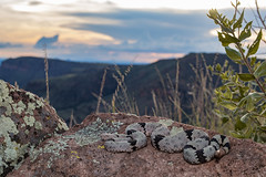 Crotalus lepidus klauberi - Banded Rock Rattlesnake (Ben L. Stupavsky) Tags: snake animal reptile sunset nature granite green grass plant hiking outdoors canon 77d 35mm bands crotalus lepidus klauberi banded rock rattlesnake wildlife lichen mountains hidalgo new mexico clouds sky