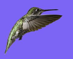 Anna's Hummingbird In A World Of Blue (Bill Gracey 24 Million Views) Tags: hummingbird hummer hummingbirdphotography offcameraflash yongnuo yongnuorf603n bird birdinflight bif annashummingbird calypteanna poway
