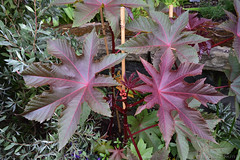 Leaves (Bri_J) Tags: bodnantgardens nationaltrust talycafn conwy clwyd wales uk nikon d7200 bodnant gardens leaves plant