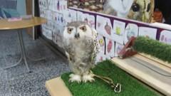 Anna,a baby snowy owl (billnbenj) Tags: barrow cumbria video owl snowyowl raptor birdofprey