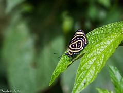 Paulogramma pyracmon (azambolli) Tags: borboleta butterfly paulogramma 08 inseto insect brasil animal nature natureza