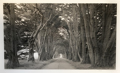 Point Reyes Cypress Tunnel (Summicron20/20) Tags: kb 12x20 inch field camera kodak 320txp trix xtol 11 fujinon c 600mm f115 platinum palladium print hahnemuhle rag canham pointreyesnationalseashore