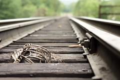 Coyote. August 21, 2018. (night.letters) Tags: depthoffield dof traintracks 50mm18 nikondslr nikonphotographer nikondigital nikonphotography d7200 nikond7200 50mm nikon50mm nikon100 nikon trespass trespassing decay coyote newenglandphotographer newyork rhodeislandphotographer skeleton bones death dead rails railroad railroadshooters railroadphotography