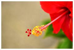 Good morning! (SHAN DUTTA) Tags: hibiscus red stamen pollengrains nikon d5300 nikkor flower 09092018
