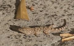 Gecko, Tarente de Maurétanie - IMG_6777 (6franc6) Tags: occitanie languedoc gard 30 petite camargue août 2018 6franc6 vélo kalkoff vae