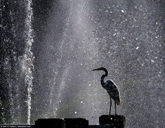 2018.09.08.2305 Egret and Fountain II (Brunswick Forge) Tags: 2018 florida grouped bird birds animal animals animalportraits outdoor outdoors summer wildlife nature water day sunny nikond500 commented tamron150600mm favorited