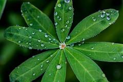 weed_&_rain-4_MaxHDR_Dehaze (old_hippy1948) Tags: weed waterdrops