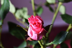 DSC_1631 (PeaTJay) Tags: nikond750 sigma reading lowerearley berkshire macro micro closeups gardens indoors nature flora fauna plants flowers rose roses rosebuds