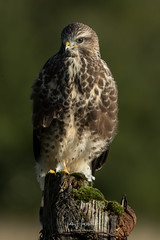 Common Buzzard (Ian howells wildlife photography) Tags: buzzard birdofprey ianhowellswildlifephotography ianhowells nature naturephotography nationalgeographic canon canonuk wildlife wildlifephotography wales wild wildbird wildbirds