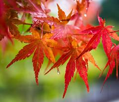#257 Early autumn colour (tokyobogue) Tags: 365project japan yamanashi countryside nikon nikond7100 d7100 sigma sigma1750mmexdcoshsm momiji red autumn leaves trees