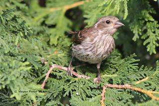 Purple Finch (Carpodacus pupureus)(female)