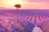 Field of Dreams (icemanphotos) Tags: provence lavender sunset beams bokeh landscape purple countryside scented tree violet flower nature natural harvest vibrant blossom herbal mediterranean fragrance provencealpescote colorful plant blooming aromatherapy blue field sky floral alpesdehauteprovence beautiful alone bloom agriculture summer color valensole rural perfume plateau europe herb french lonely lines scent france row lavande fragrant