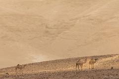 Nel deserto all'alba (Milo Manica) Tags: camelusdromedarius dromedario desert deserto negev israele palestina canon eos 60d tamron 70300