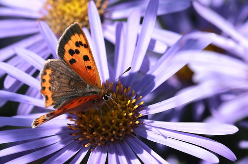 Small Copper on Aster