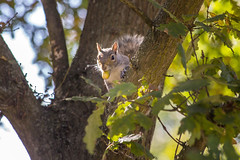 Cheeky squirrel (Steve M Photography) Tags: animal creature mammal nature naturereserve squirrel trees treesquirrel fluffy tail cute nut acorn