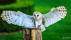 Chouette Effraie (Tyto alba) (yann.dimauro) Tags: castelnaudlachapelle nouvelleaquitaine france fr