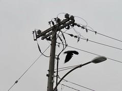 Crow Power (benlarhome) Tags: calgary alberta canada