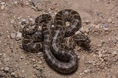 Great Plains Ratsnake (amdubois01) Tags: pantherophis pantherophisemoryi greatplainsratsnake ratsnake snake reptile kansas