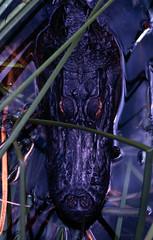 Gator Head (realfloridaphoto) Tags: alligator florida wildlife fuji velvia100 velvia pentax 50 14