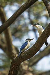 Park Pair (fantommst) Tags: lisaridings fantommst collared kingfisher todiramphus chloris pair halcyonidae tree mangrove aquamarine blue bird birds two pekaka burongrajaudang singapore dhobyghaut
