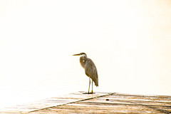 Blue Heron (Beangrau12) Tags: blueheron bird avian shorebird pier fog water corecreekpark nikond500 tamron16300