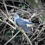 Cuckoo in Allhallows thumbnail