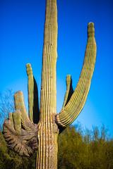 Fathom (Thomas Hawk) Tags: america arizona desertbotanicalgarden papagopark saguaro usa unitedstates unitedstatesofamerica cacti cactus desert phoenix us fav10