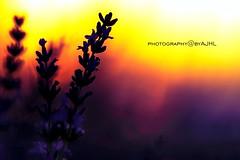Lavender (antoniojosehuertalopez) Tags: lavender sunset esencia perfume botany