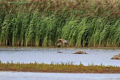 Marsh Harrier - Sumpfweihe (Noodles Photo) Tags: rspbblacktoftsands neukiefervögel neognathae accipitriformes greifvögel accipitridae habichtartige circinae circus weihen circusapproximans sumpfweihe marshharrier birdsofprey birdofprey harrier aves bird vogel goole dn148hr eastridingofyorkshire yorkshire greatbritain gb unitedkingdom uk england canoneos7dmarkii tamronsp150600mmf563divcusdg2 blacktoftsandsrspb