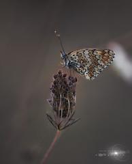 Melitatea Cinxia. (Javier Colmenero) Tags: alava comandomacro euskadi nikon nikond7200 sigma sigma105mm sigmalens butterfly insect insecto macro macrophoto mariposa naturaleza nature naturephoto