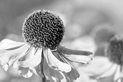 Echinacea in black and white (andrew_maier) Tags: closeup beautiful afternoon macrophotography plant flower gland vaud switzerland bw blackandwhite