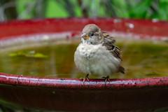 fluffball (JGKphotos) Tags: d500 johnkunze bird birds