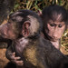 Baby Yellow Baboons (Papio cynocephalus), Maasai Mara