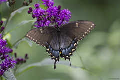 Butterfly 2018-71 (michaelramsdell1967) Tags: butterfly butterflies nature macro insect insects animal animals beauty beautiful pretty lovely upclose closeup green black bokeh detail delicate fragile bug bugs wing wings meadow summer garden purple flower zen