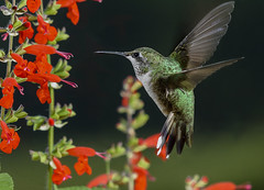 Ruby-throated Hummingbird (snooker2009) Tags: bird hummer hummingbird nature wildlife pennsylvania emerald flight