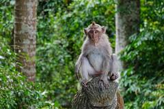 Bali's monkey (Laurent Pelleray) Tags: bali indonesia monkey forest road trip discover world nikon d7200 aperture priority dxo photolab