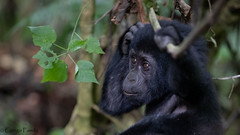 Baby Gorilla in Uganda (the youngest i have ever seen in the Wild) (Bruno Conjeaud) Tags: gorille montagne gorilla mountain uganda bwindi ruhija wild free endangered baby apes