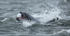 BND-1222 (David Jefferson Photo) Tags: bottle nose dolphin dolphins whales cetaceans whale scotland highland highlands inverness fortrose rosemarkie chanonry point watching wildlife breach breaching salmon fin dorsal fluke flukes tursiops truncatus delfin