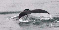 Alaska - 4692 (AZDew) Tags: alaska princesscruise ocean whale diving tail water