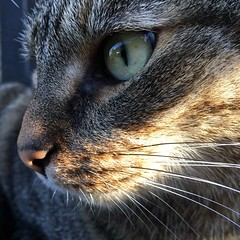 (hannemiriam) Tags: reflection face pet animal upclose cateye whiskers profile lunathecat shecat feline katze chat kat cat iphone