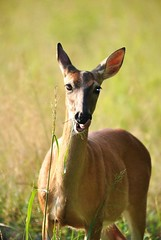 ~ That was just so very lip smackin' good .... (~ Cindy~) Tags: youngdoe tennesseesummer2018 fauna 7dwf animal deer