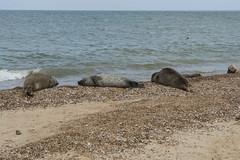 2018_Norfolk_HorseyBeach_Seals_8 (atkiteach) Tags: norfolk uk england horsey horseybeach sea seaside northsea beach seal seals