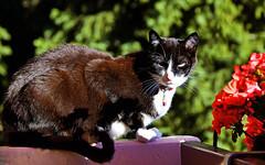 Ratatouille au soleil (Diegojack) Tags: vaud suisse echandens d500 animalière chat ratatouille soleil fabuleuse