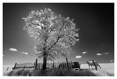 Black shining (infrared) (fred-4-ever) Tags: infrared infrarouge conversion ir sony blackandwhite blanc arbre tree foliage bw ciel cloud nuage cow vache rêve dream invisible