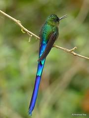 Violet-tailed Sylph, Aglaiocercus coelestis (Ecuador Megadiverso) Tags: aglaiocercuscoelestis andreaskay bird birdwatcherslodge colibri ecuador hummingbird mindo trochilidae violettailedsylph