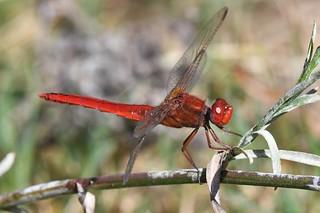 Sympétrum rouge-sang - Sympetrum sanguineum - Ruddy darter