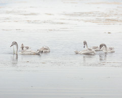 Baby Swans (happytreephotos) Tags: baby outdoor wildlife young newborn water lake wet swim ripple feathers beak outdoors no people summer