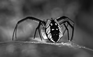 Black & Yellow Garden Spider-HMBT